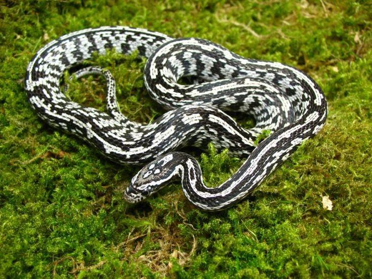 Corn Snake - Anery Tessera Morph | Colubridae | Pinterest ...