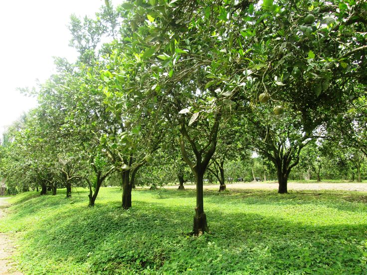 Cultivos de naranja