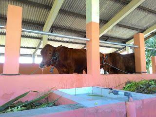 kandang sapi