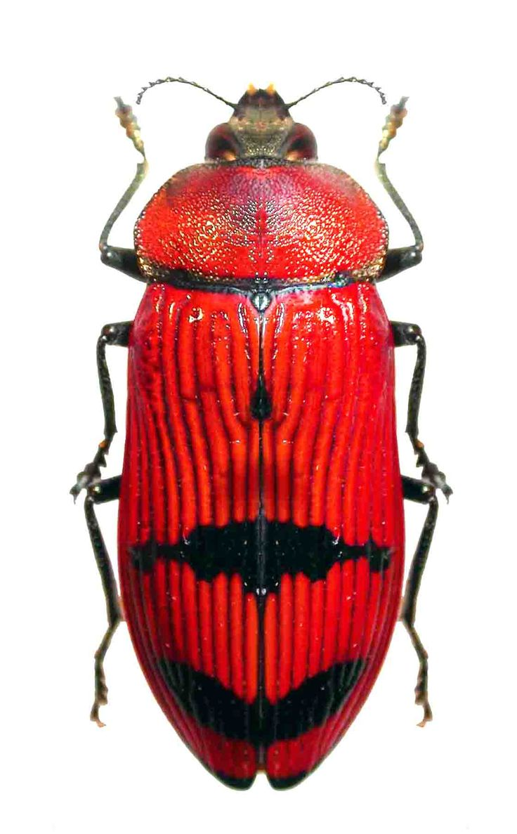 Photos - BUGS & INSECTS - Temognatha wimmerae