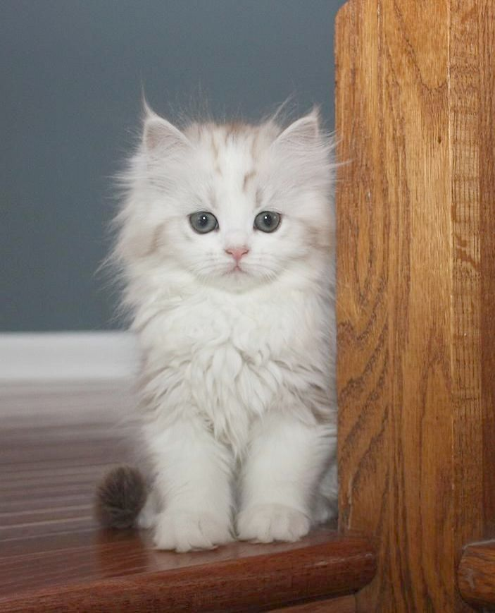Cats And Kittens For Sale Gumtree Lymington Cats And
