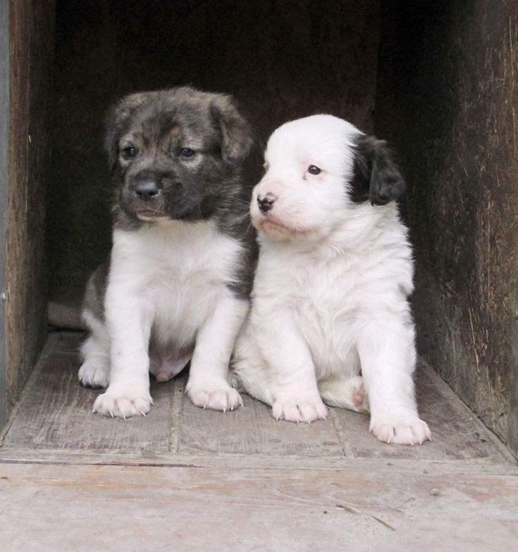 """Czech mountain dog puppies - Breed """"B"""" 2015 for sale"""