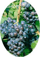 Native North American  Grape Wine Recipes
