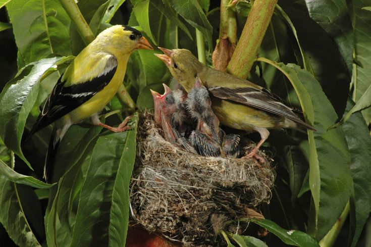 how to build a birdhouse for american goldfinch