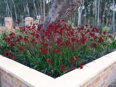 Anigozanthos 'Ruby Velvet' • Variant on colours with the use of various cultivars