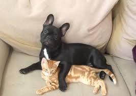 Afbeeldingsresultaat voor franse bulldog zwart