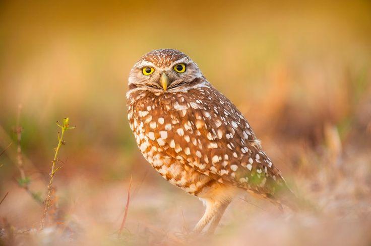 owl baby bird