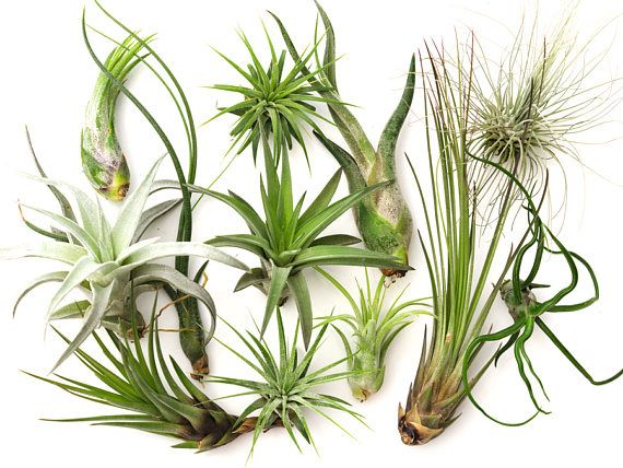 FREE COMBINED SHIPPING on all small air plants.<<<<<< 12 Air Plant Variety Pack, Terrarium Plants, Succulent Air Plant Terrarium, Wholesale Air Plants, Tillandsia, Large Air Plant Sale, Airplant *** This 12 air plants variety pack is perfect for anyone wishing to get the