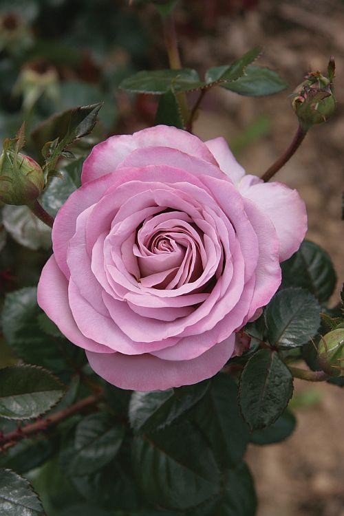 'Blue Girl' | Hybrid Tea rose http://www.lakei-boomkwekerijen.nl/nl/assortiment/rosa/grootbloemig/blue-girl-reg