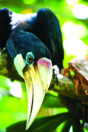 Like all hornbills, Papuan Hornbills act aloof. You can hear that attitude in their staccato ka-ka-ka-ka as they fly, as if they're laughing at everyb...