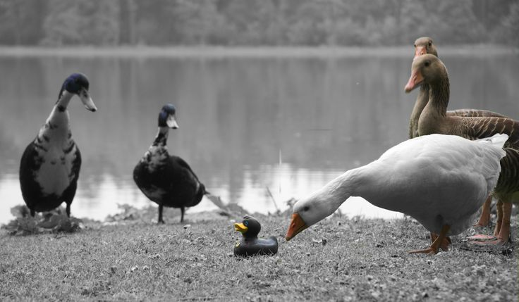 The adventures of a black rubber duck. With ducks and goose