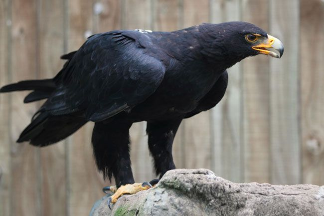 Largest bird of prey ever - photo#2