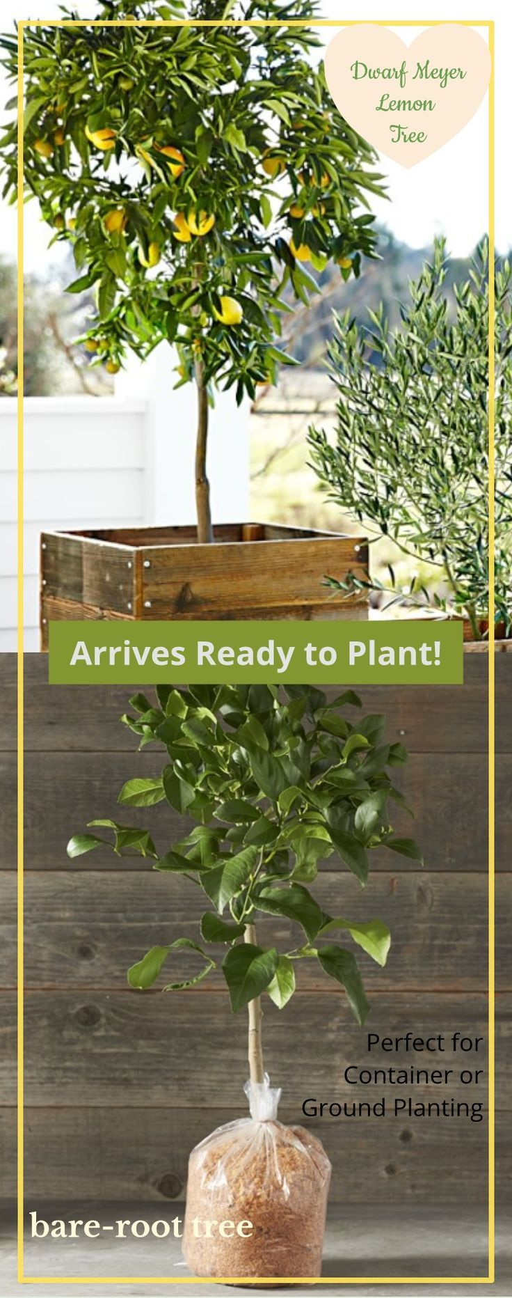 Plant Your Dwarf Bare Root Meyer Lemon Tree Or Easily Tend To Your Container Ready Citrus Tree Affiliate Meyerlemon Citrus