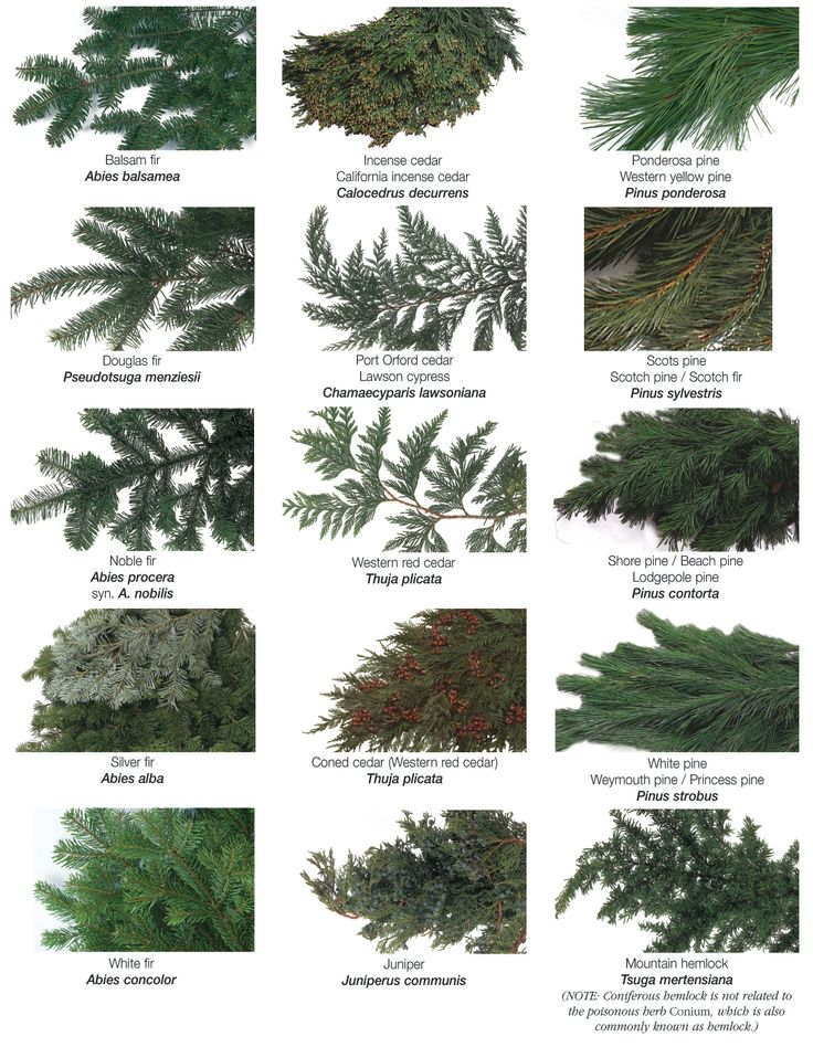 types-of-evergreens