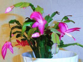 Se rompió una rama de mi cactus de navidad, y en vez de tirarla, voy a aprovechar para explicar como reproducir esta planta tan bonita.  ...