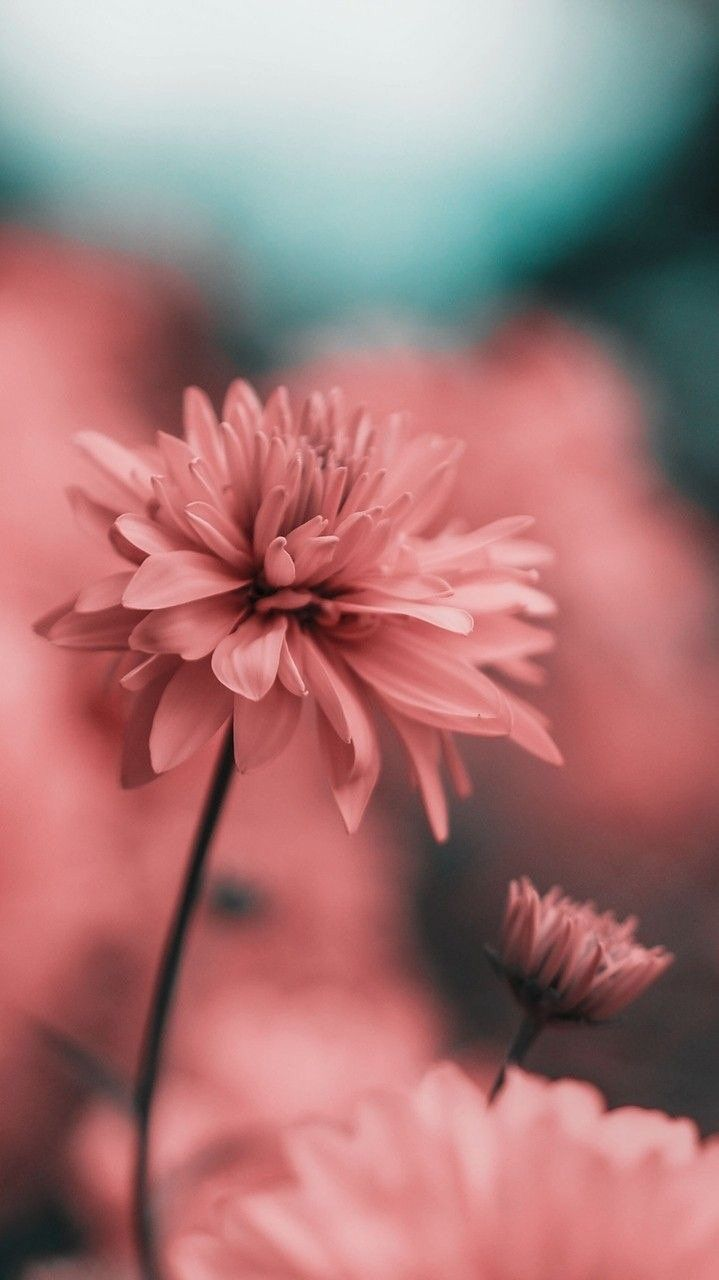 Iphone And Android Wallpapers Pink Flower Wallpaper For