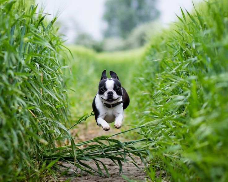 Image result for boston terrier in action hiking