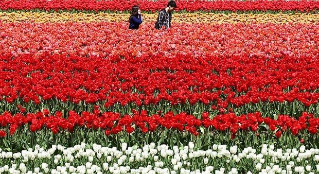 Paling Bagus 26 Gambar Bunga Tulip Dengan Crayon Home Cara Mewarnai Gambar Bunga Mawar Dengan Crayon Cara Mewarnai Gambar Bung Bunga Tulip Bunga Gambar Bunga