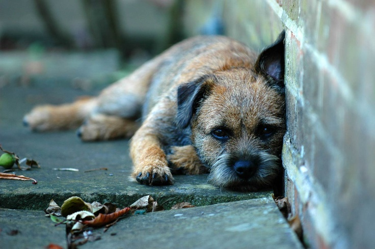 border terrier - i want to adopt one now!