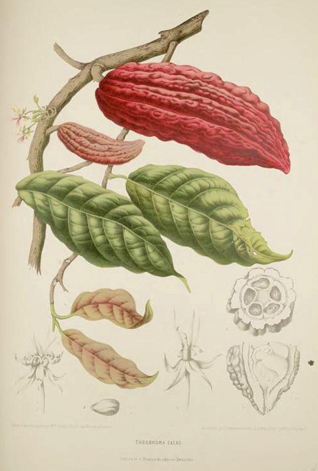 "dottysparrow: ""From my pinterest board Botanical Art http://ift.tt/1NHHFjo. Cacao Botanical Illustration Berthe Hoola Van Nooten 1880 http://ift.tt/1itcSLZ """