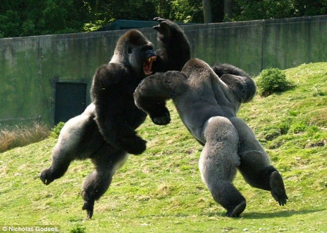 Scary Gorilla | Photos Of Gorilla Fighting 1 500x356 Photos Of Gorilla Fighting: Animal Pics, Jungles, Animal Pictures, Silverback Gorilla, Jiu Jitsu, Awesome Pictures, Amazing Pictures, Sunday Funday, Animal Funny