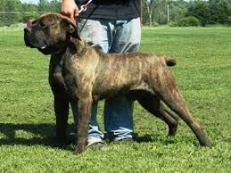 Image result for american bandogge