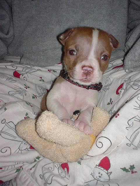 Pitty Pup!! How can you not love a pit bull??