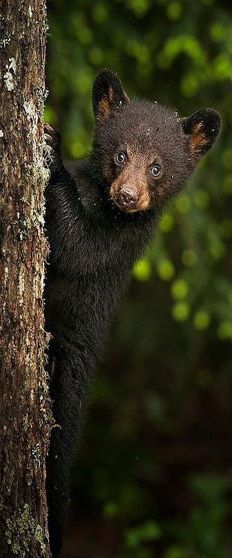 cute bear cub #via: www.backcountrygallery.com