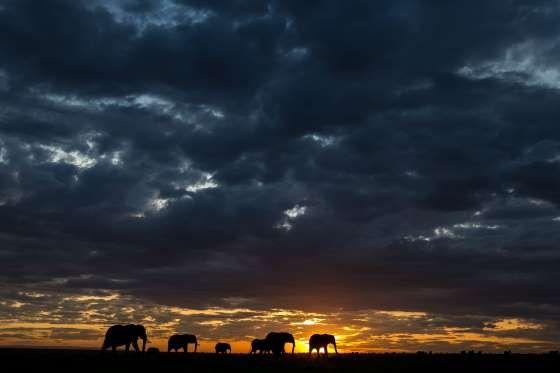 Elephants - Paul Goldstein/Exodus/REX