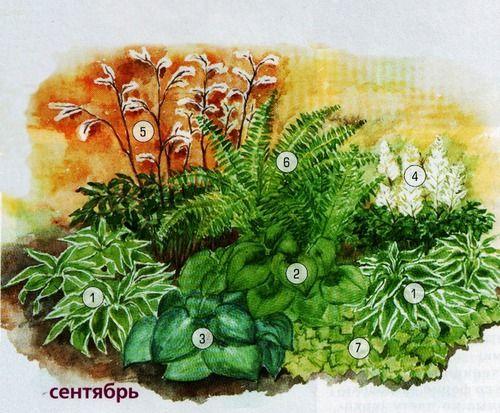 """1. Хоста волнистая (Hosta undulata) """"Albomarginata"""". 2. Хоста вздутая (Hosta ventricosa). 3. Хоста Зибольда (Hosya sieboldiana). 4. Астильба гибридная (Astilbe x hybrida). 5. Клопогон раскидистый (Cimicifuga rasemosa). 6. Страусник обыкновенный (Matteucia struthiopteris). 7. Тиарелла сердцелистная (Tiarella cordifolia)."""