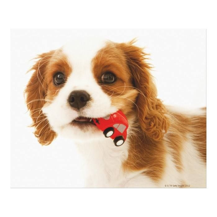 Customizable #Animal#Body#Part #Animal#Head #Animal#Themes #California #Close#Up #Color#Image #Curiosity #Discovery #Dog #Domestic#Animals #Horizontal #King#Charles#Spaniel #No#People #One#Animal #Pets #Photography #Playful #Red #San#Francisco#California #Studio#Shot #Toy#Car #Usa #White#Background King Charles Spaniel with red car in her mouth. Canvas Print available WorldWide on http://bit.ly/2fostfj