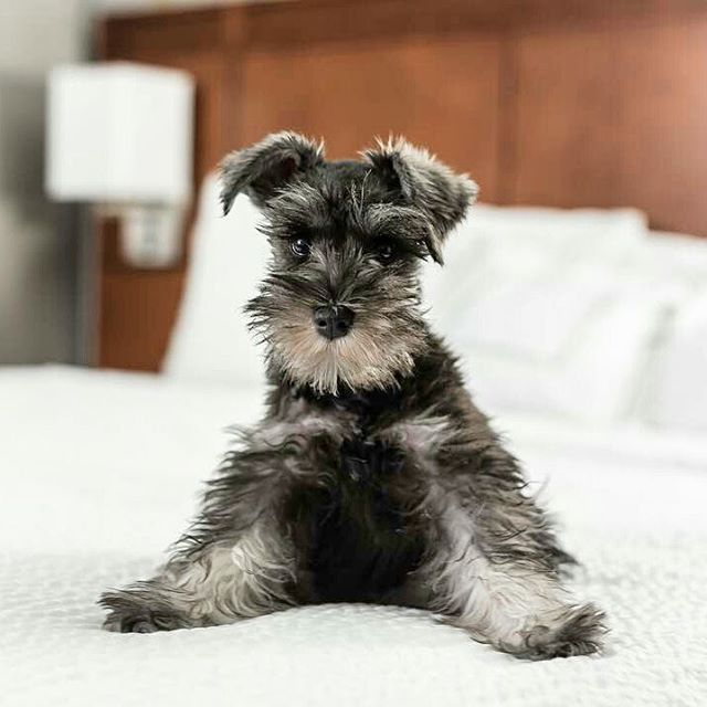 Choose your Schnauzer or hoodie now⏩Check the link in @schnauzerworld profile! International shipping! ️ To be featured ⏩Follow us ⏩Choose your best photo ⏩Tag us #schnauzerworld Reposted from: @theurbanthomas