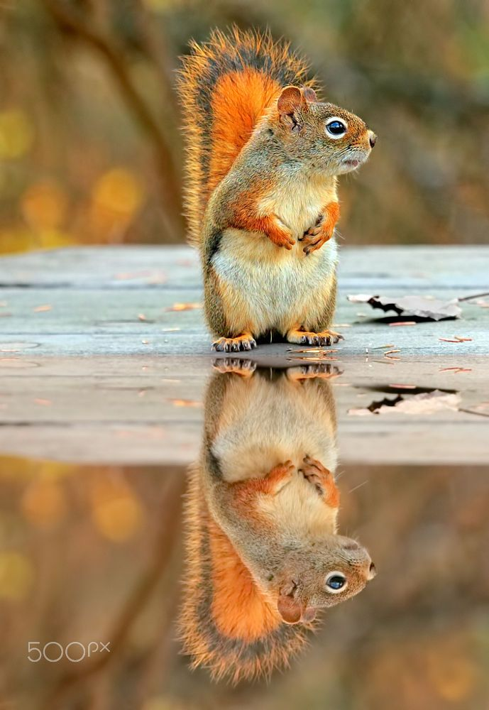 Canadian Red Squirrel by Tammy Nash on 500px
