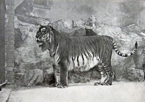 6.) Caspian Tiger (extinct since 1970): also known as the Persian tiger, this big cat was found in subspecies of tiger, found in Iran, Iraq, Afghanistan, Turkey, Mongolia, Kazakhstan, Caucasus, Tajikistan, Turkmenistan and Uzbekistan. It was the third largest tiger.