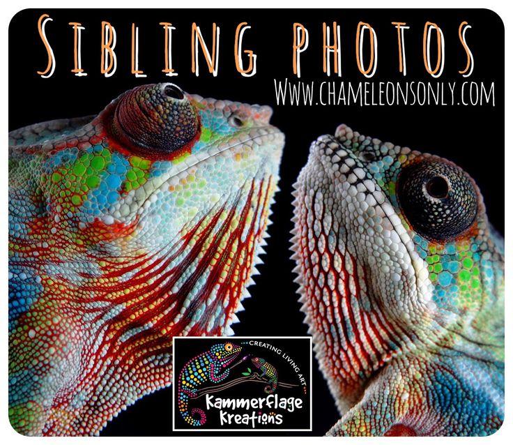 Chameleons: Panther Chameleons for sale,Panther Chameleon Breeders: Kammerflage Kreations