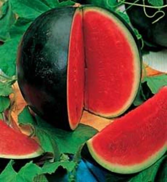 *ORDERED* Sugar Baby Watermelon. This small, round melon is called an icebox type because it is petite enough to fit in the refrigerator. This widely adapted heirloom variety is solid, dark green on the outside with a bright red, firm and fine-grained flesh that is super sweet.