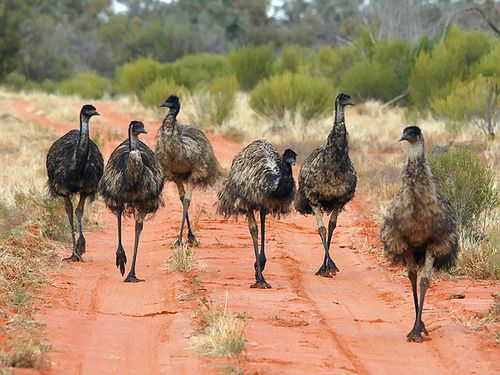 The emu (/ˈiːmjuː/,[6] sometimes US /ˈiːmuː/;[7] Dromaius novaehollandiae) is the largest bird native to Australia and the only extant member of the genus Dromaius. The emu is common over most of mainland Australia, although it avoids heavily populated areas, dense forest, and arid areas