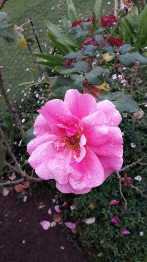 Curzon Road Rose Garden