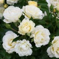 Drift is a new groundcover rose that grows 1 - 2 feet high and 2 - 3 feet wide, long-blooming, tough, and disease resitstant, good for short drifts of roses in the foreground of a landscape, available at Devil Mountain Wholesale Nursery on Alcosta
