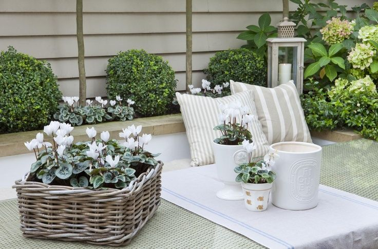 Snowy white cyclamen in gorgeous greige rattan basket...Full details on Modern Country Style blog: Leopoldina Haynes' Small Garden