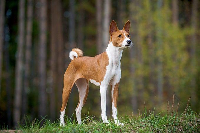 20 Hypoallergenic Dog Breeds In 2020 Top 10 Dog Breeds Dog Breeds That Dont Shed Dog Breeds Medium