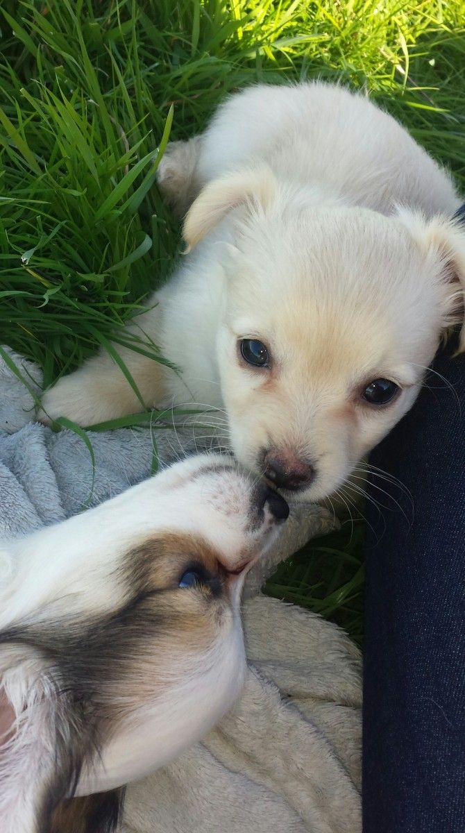 Chihuahua/Spitz Bella und Theodore Geschwisterliebe ♥ #Hund: Bella und Theodore / #Rasse: Chihuahua/Spitz      Mehr Fotos: https://magazin.dogs-2-love.com/foto/chihuahuaspitz-bella-und-theodore/ Foto, Hunde, Liebe, Natur