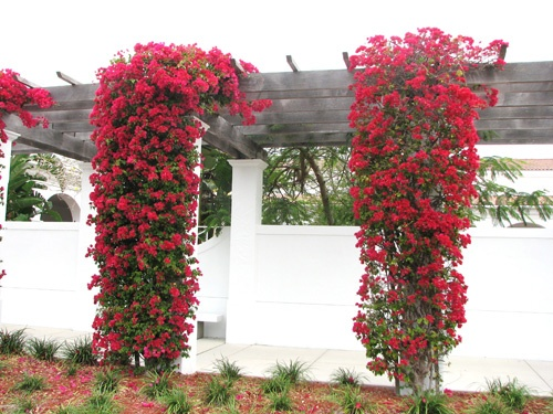 Http Www Save On Crafts Com Bougainvillea Html