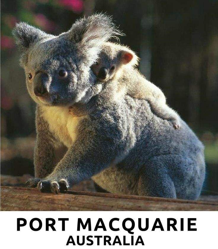 Port Macquarie on the Mid North Coast of NSW is famous for its Koalas and its Koala Trail.   Great gift idea if you are visiting the area.