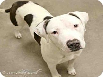 Mesa, AZ - Pit Bull Terrier Mix. Meet JENNIFER a Dog for Adoption.