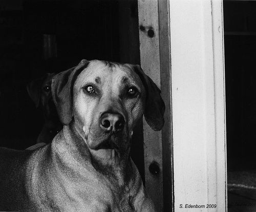 My friend Kim's Rhodesian Ridgeback. Taken with an Olympus OM2 film camera.