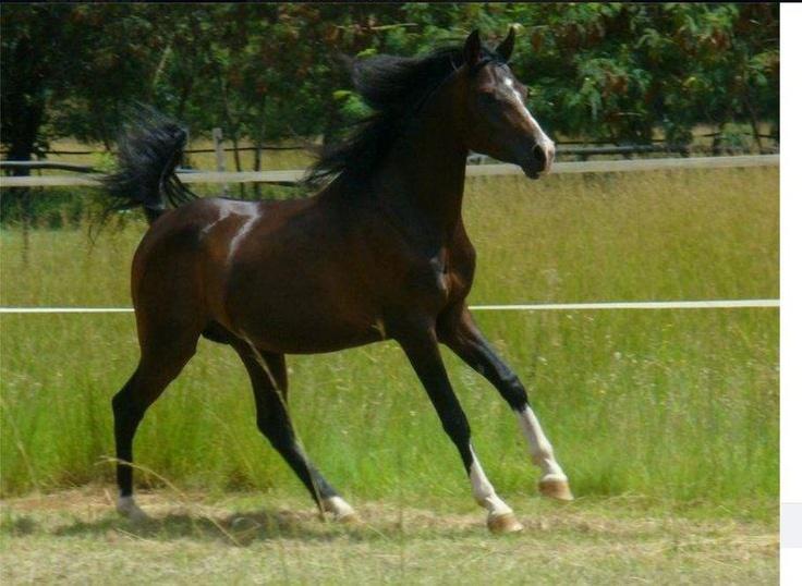 Shafiq - beautiful Stallion lost 2013