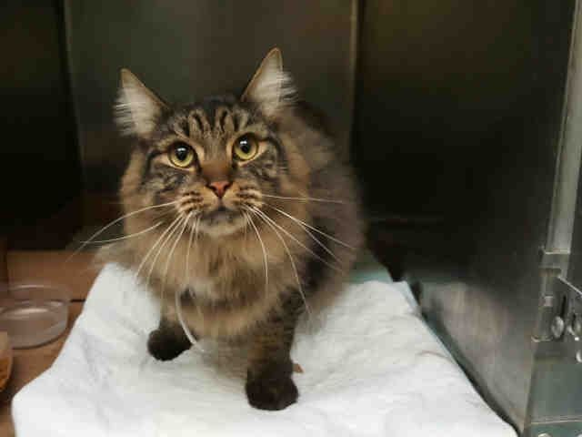 TOMAS - A1097724 - - Staten Island  Please Share:*** TO BE DESTROYED 11/27/16 *** HAS HISTORY OF KIDNEY STONES – OWNER ABANDONED WITH HOUSEMATE DELIA – 2 YRS OLD – NEEDS RESCUE NOW! -  Click for info & Current Status: http://nyccats.urgentpodr.org/tomas-a1097724/