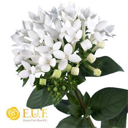 Bouvardia enkelbloemig Royal Daphne Supreme (wedding bouquets)