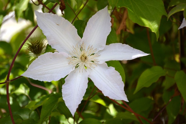 white clematis flower pics i have taken pinterest